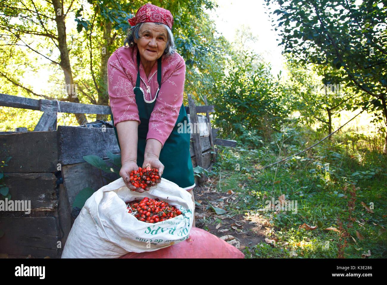 Chile, Araucania, Curarrehue, Mapuche, farmer, harvest, rose hips, - Stock Image