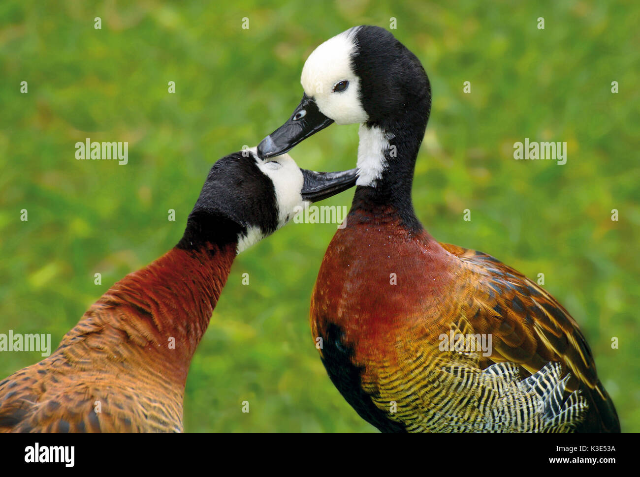 Brazil, Iguaçu national park, couple of white-faced ducks with the mutual plumage cleaning - Stock Image