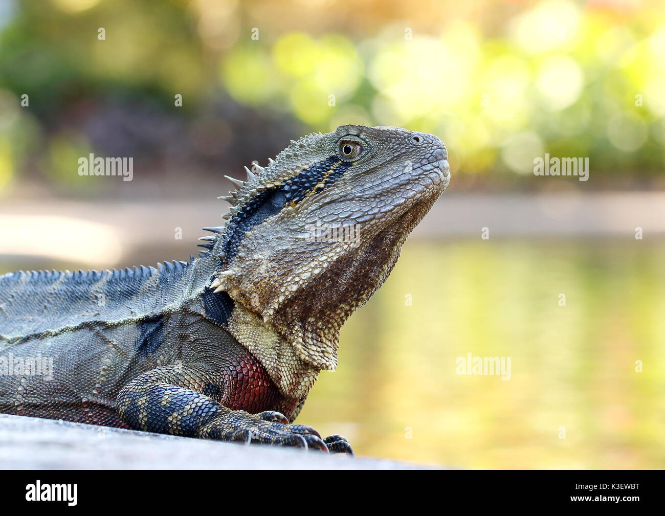 Water dragon in a botanical park in Australia sunning itself by a lake - Stock Image