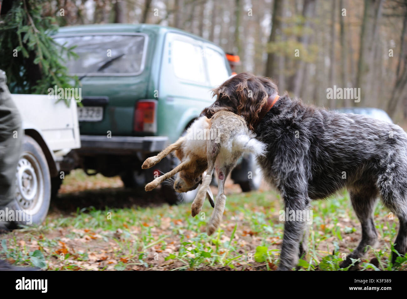 rural ground game hunting, hound retrieves prey, - Stock Image