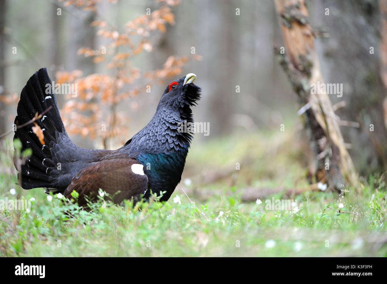 Capercaillie, courtship display in the Bavarian alps Stock Photo