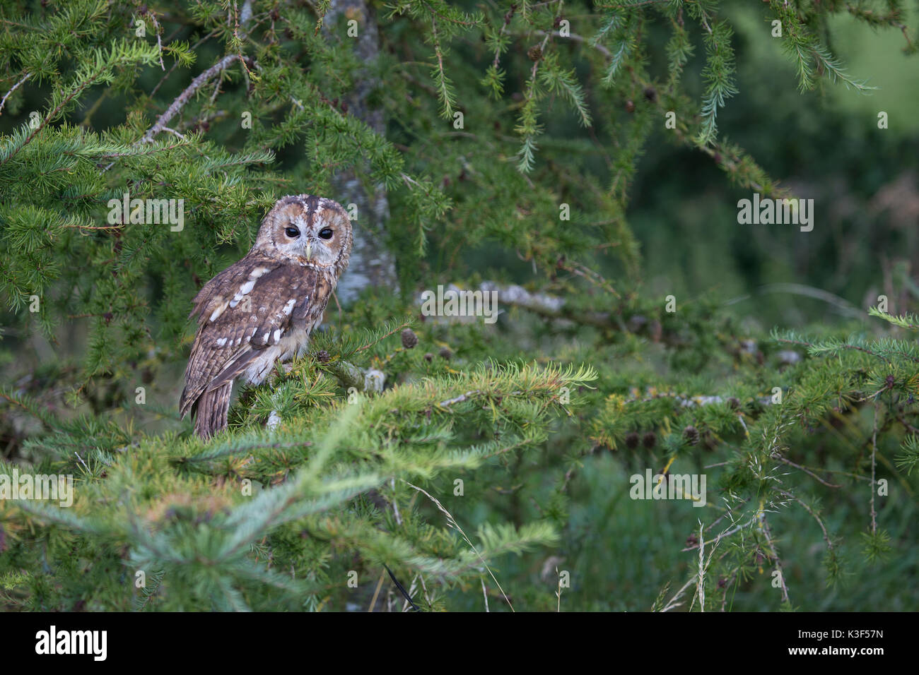 Tawny Owl Strix Aluco perched on a conifer branch - Stock Image