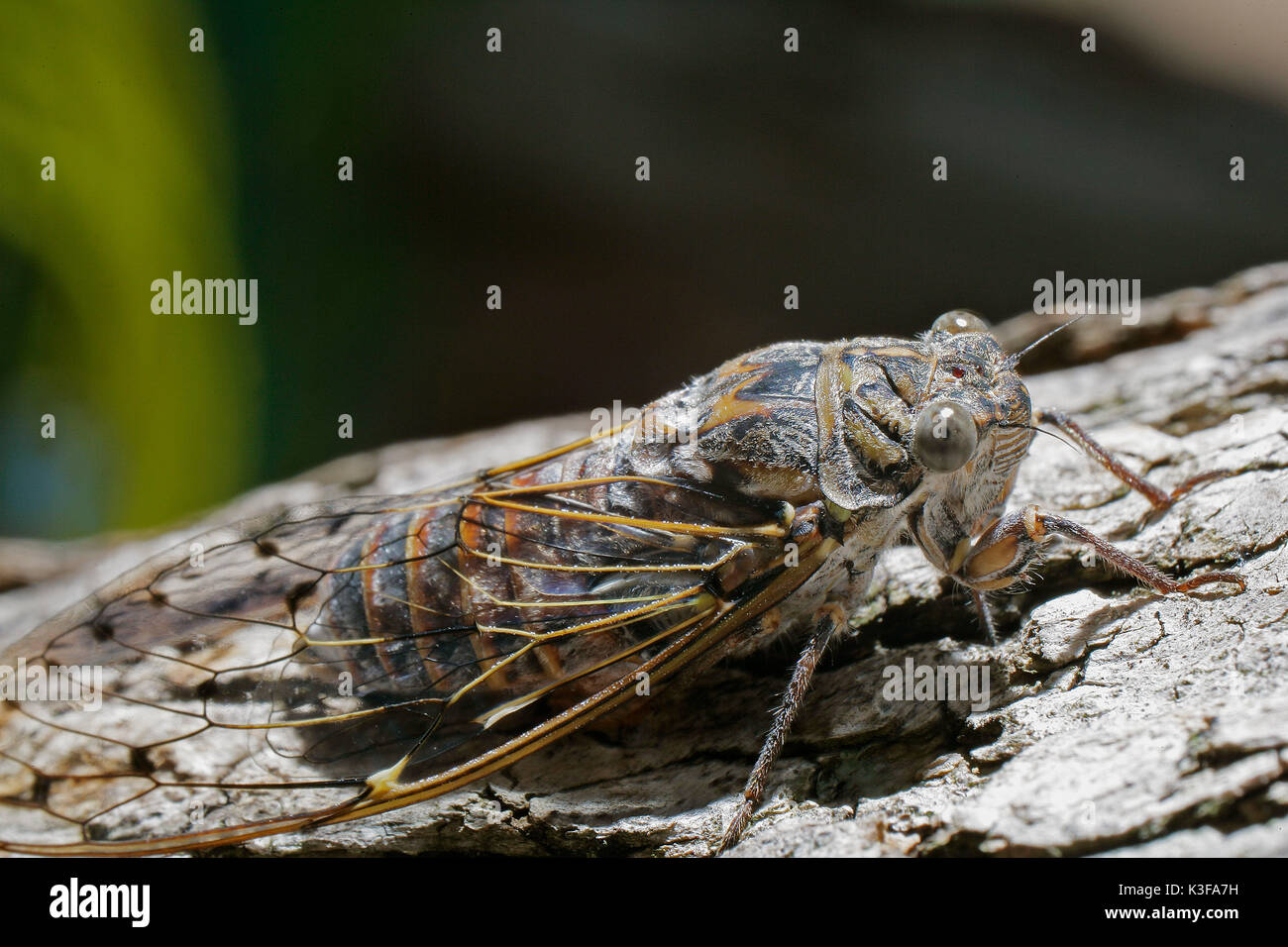 Song cicada (Cicadidae) on bark Stock Photo