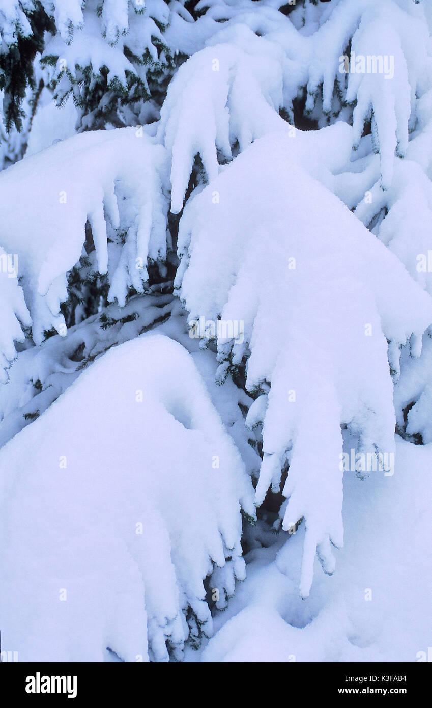 Snow-overcast fir Stock Photo