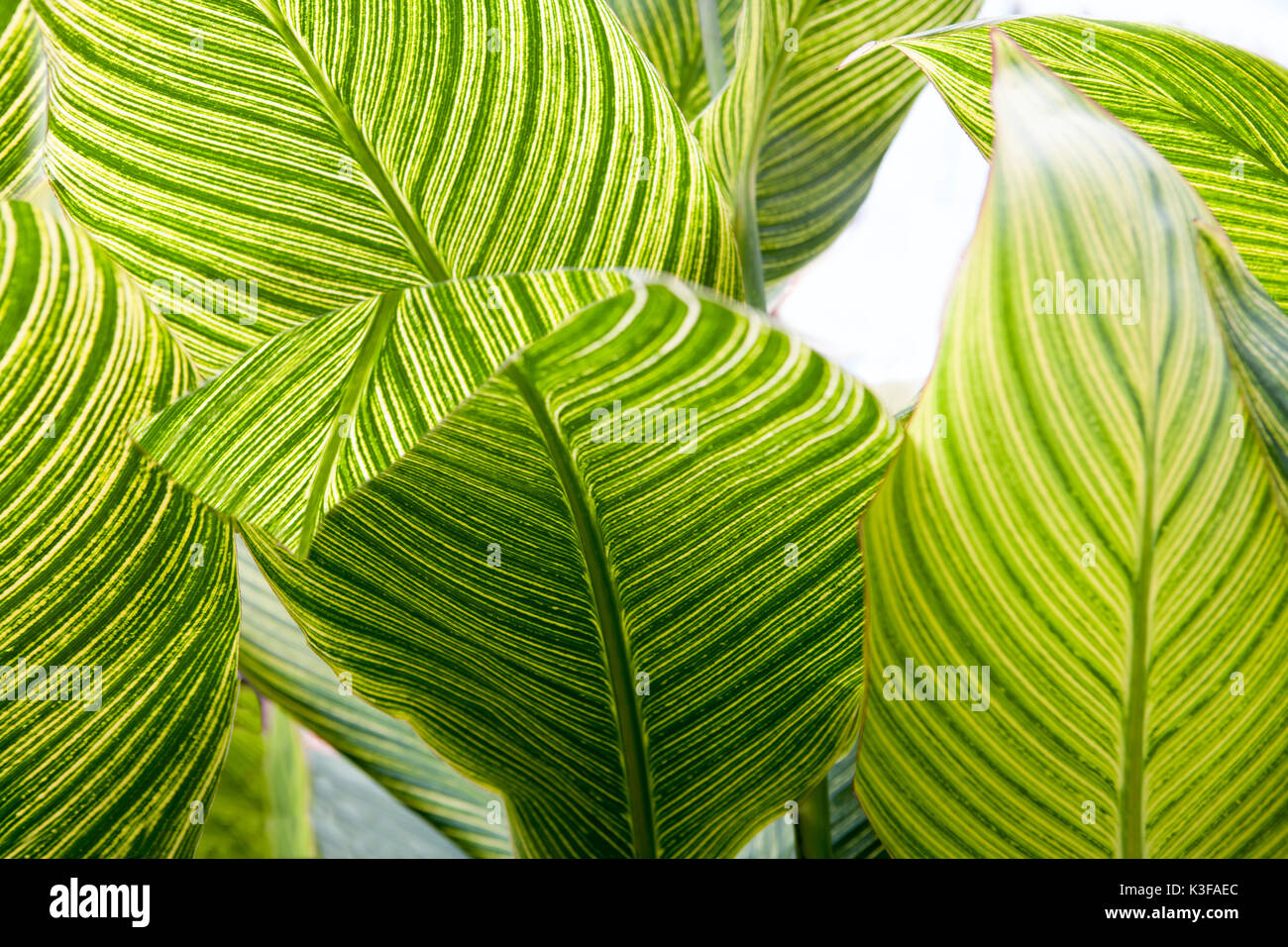 Plant With Tiger Leaves Stock Photos Plant With Tiger Leaves