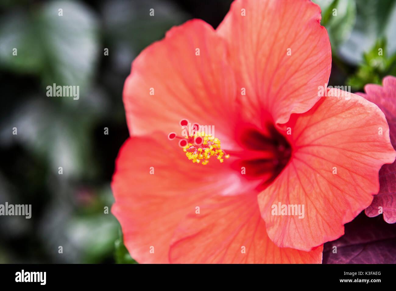 Orange hibiscus flower stock photos orange hibiscus flower stock orange hibiscus flower in bloom stock image izmirmasajfo