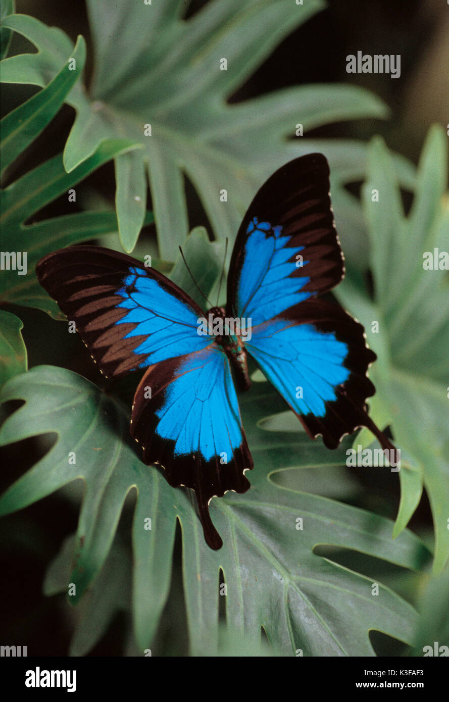 Butterfly on leaves / Papilionidae montronzieri - Stock Image