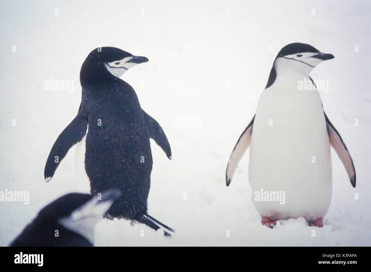 Rein penguins in Antarctic - Stock Image