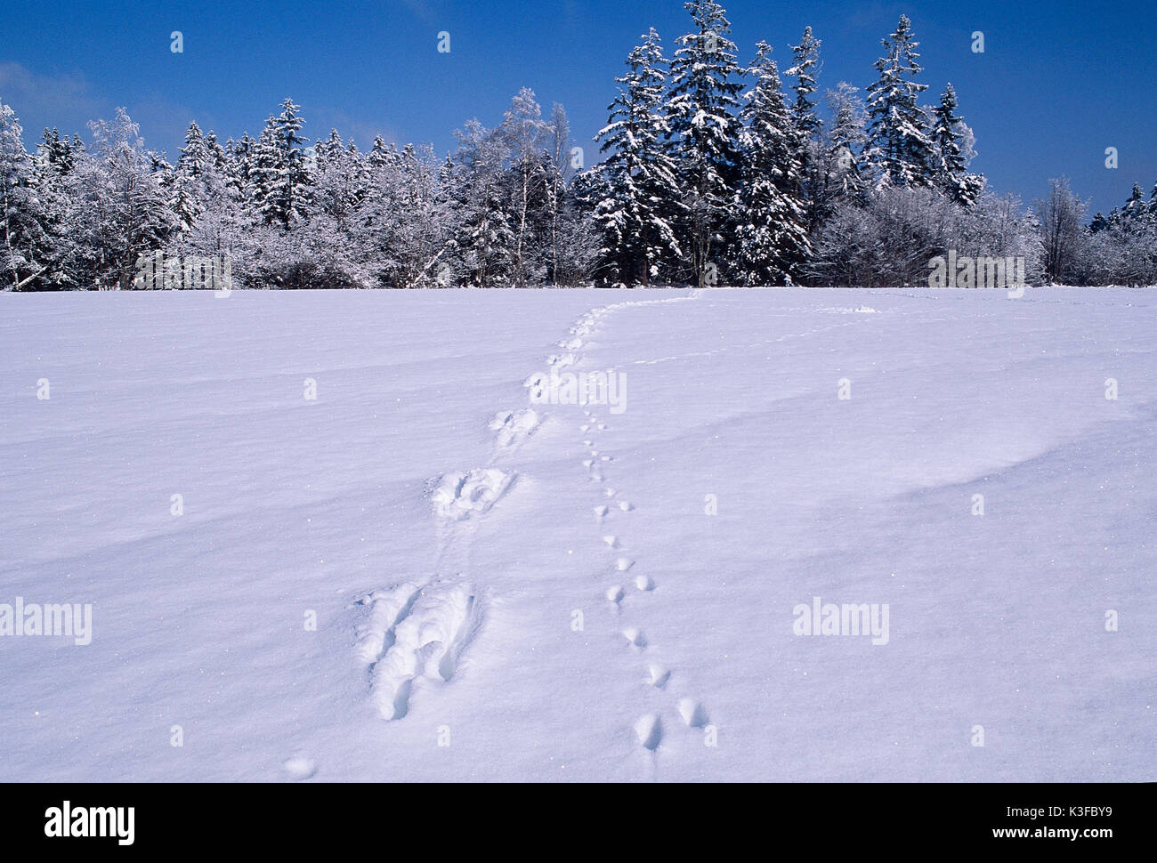 Animal tracks at the snow - Stock Image