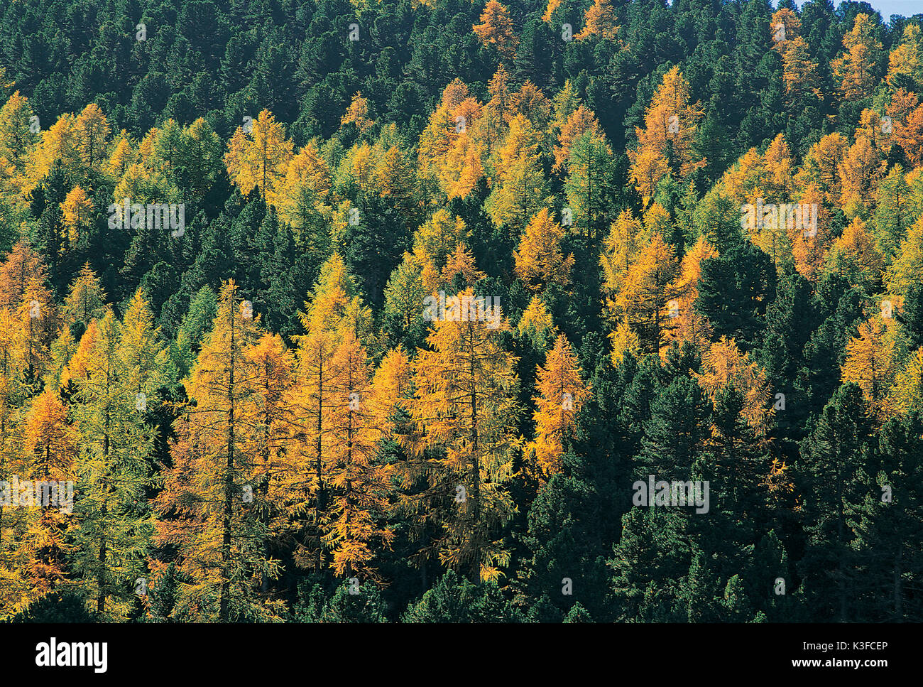 Autumnal coniferous forest - Stock Image