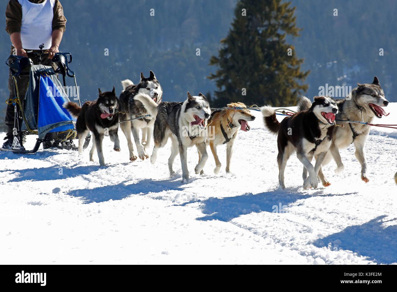 Slide dog's races - Stock Image