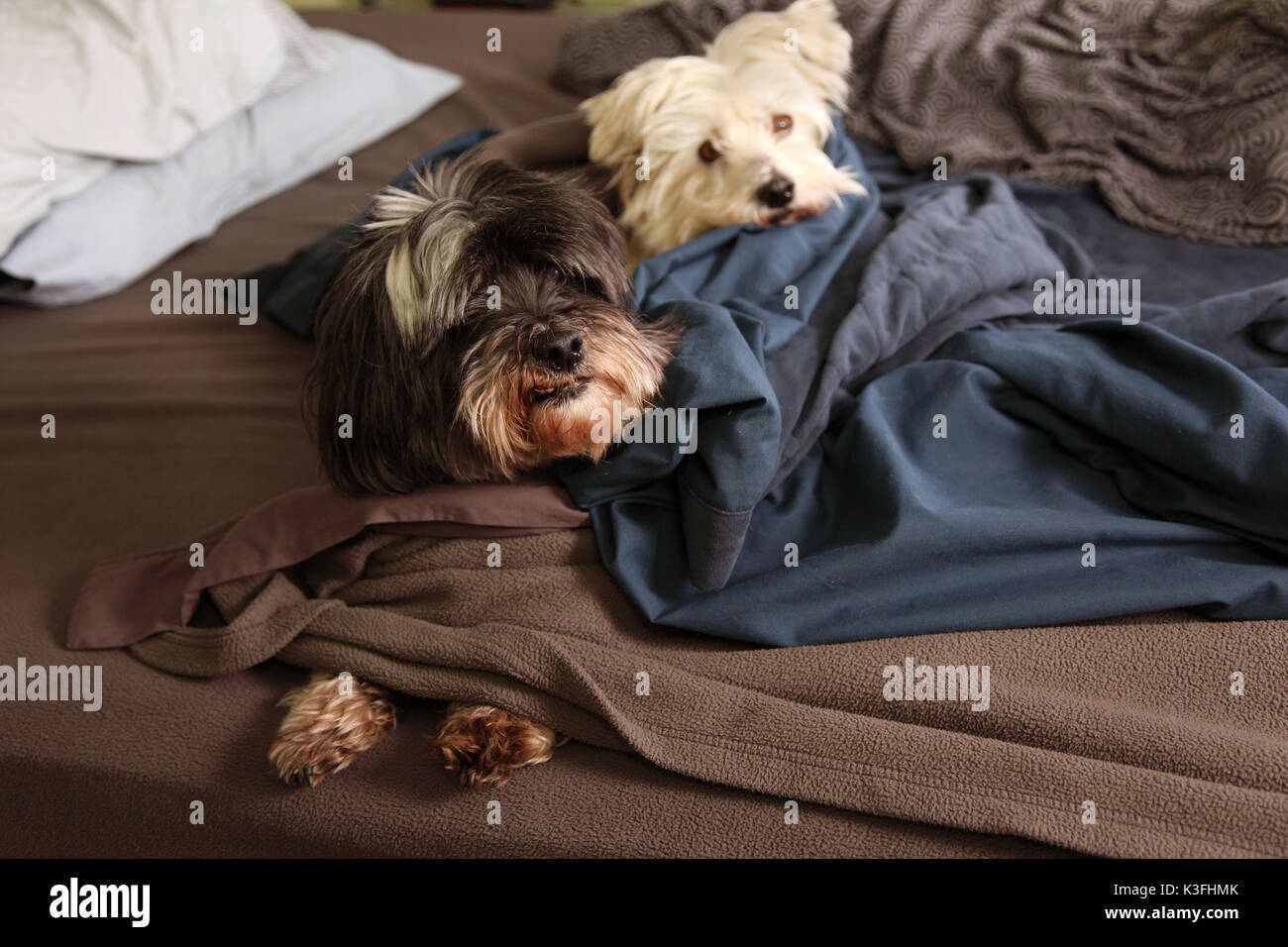 two dogs sleep on the bed - Stock Image