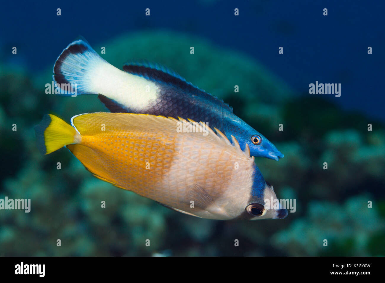 Kleins Butterflyfish and Bicolor Cleaner Wrasse, Chaetodon kleinii, Labroides bicolor, Great Barrier Reef, Australia - Stock Image