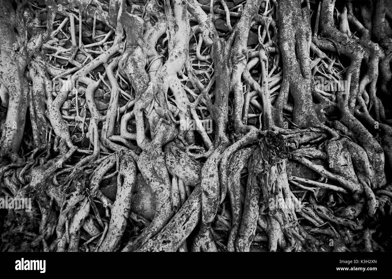 Gondar, Fasiladas' Bath. Tree roots strangle an old wall surrounding Fasilidas' Bath in Gondar, Ethiopia, - Stock Image
