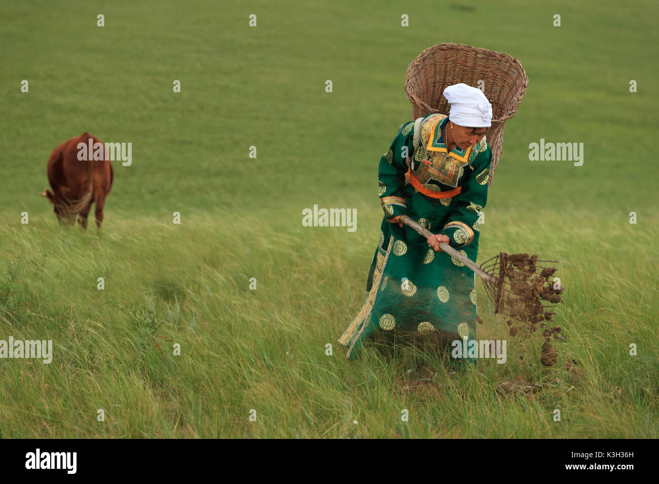 Inner Mongolia, China-July 31, 2017: Unidentified nomadic Mongolian woman collects the cow dung into her basket Stock Photo