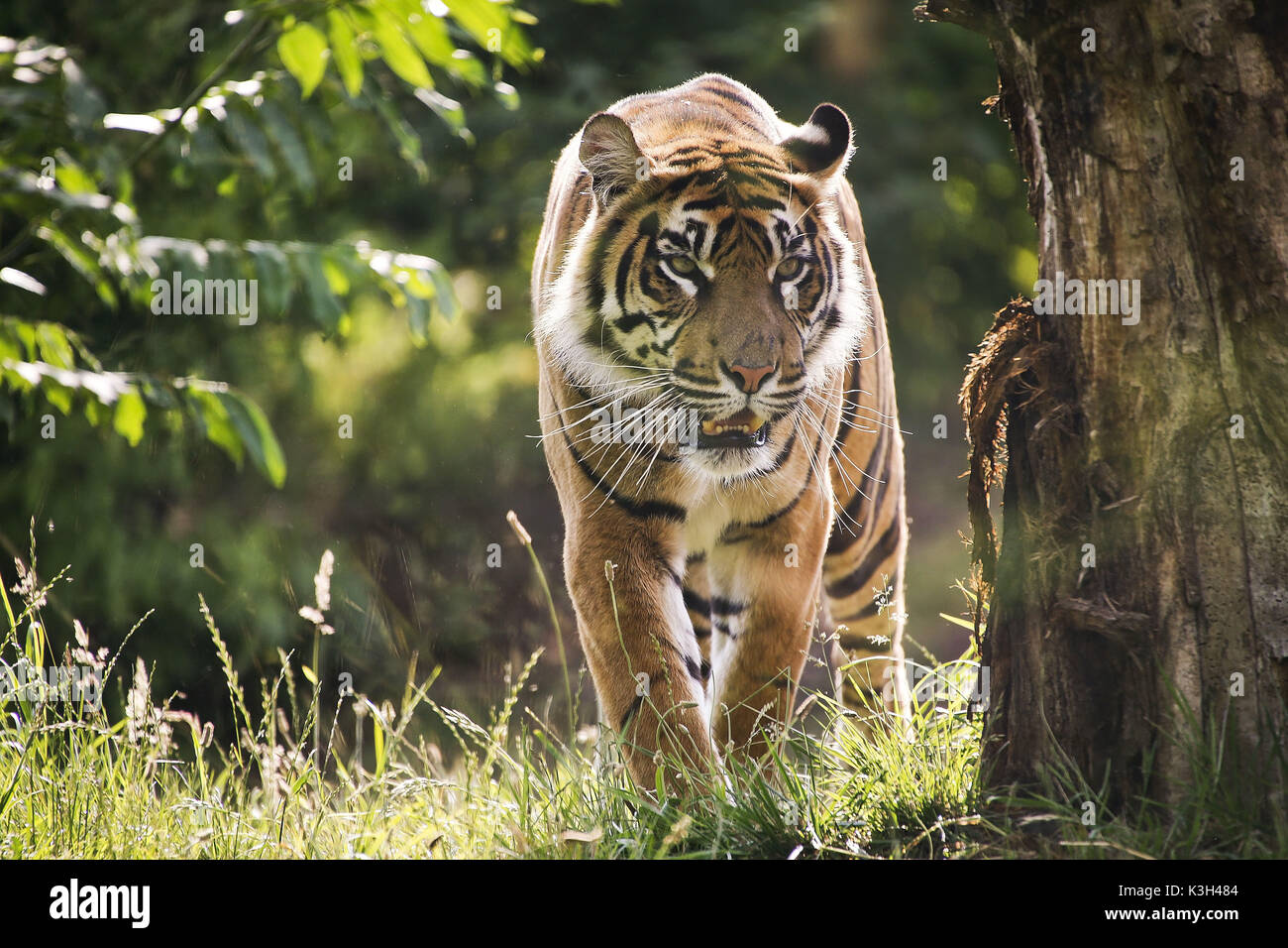 Sumatran Tiger, panthera tigris sumatrae - Stock Image