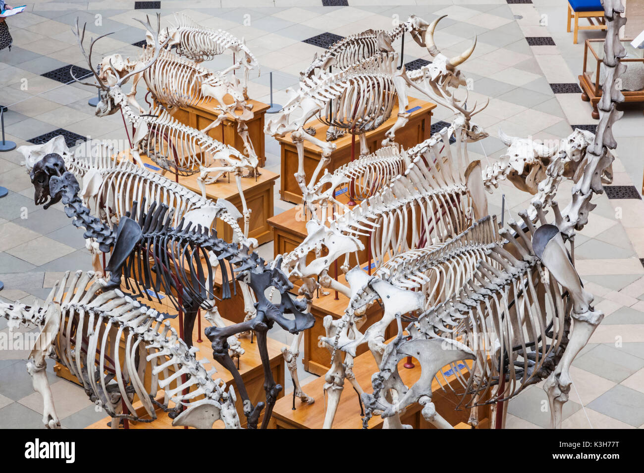 England, Oxfordshire, Oxford, Museum of Natural History, Display of Animal Skeletons - Stock Image