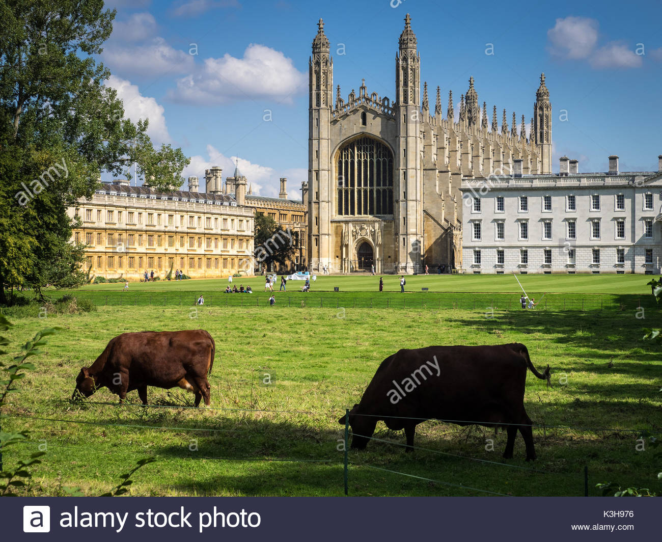 Cows graze on the Backs in front of Kings College Chapel and the University of Cambridge - Stock Image
