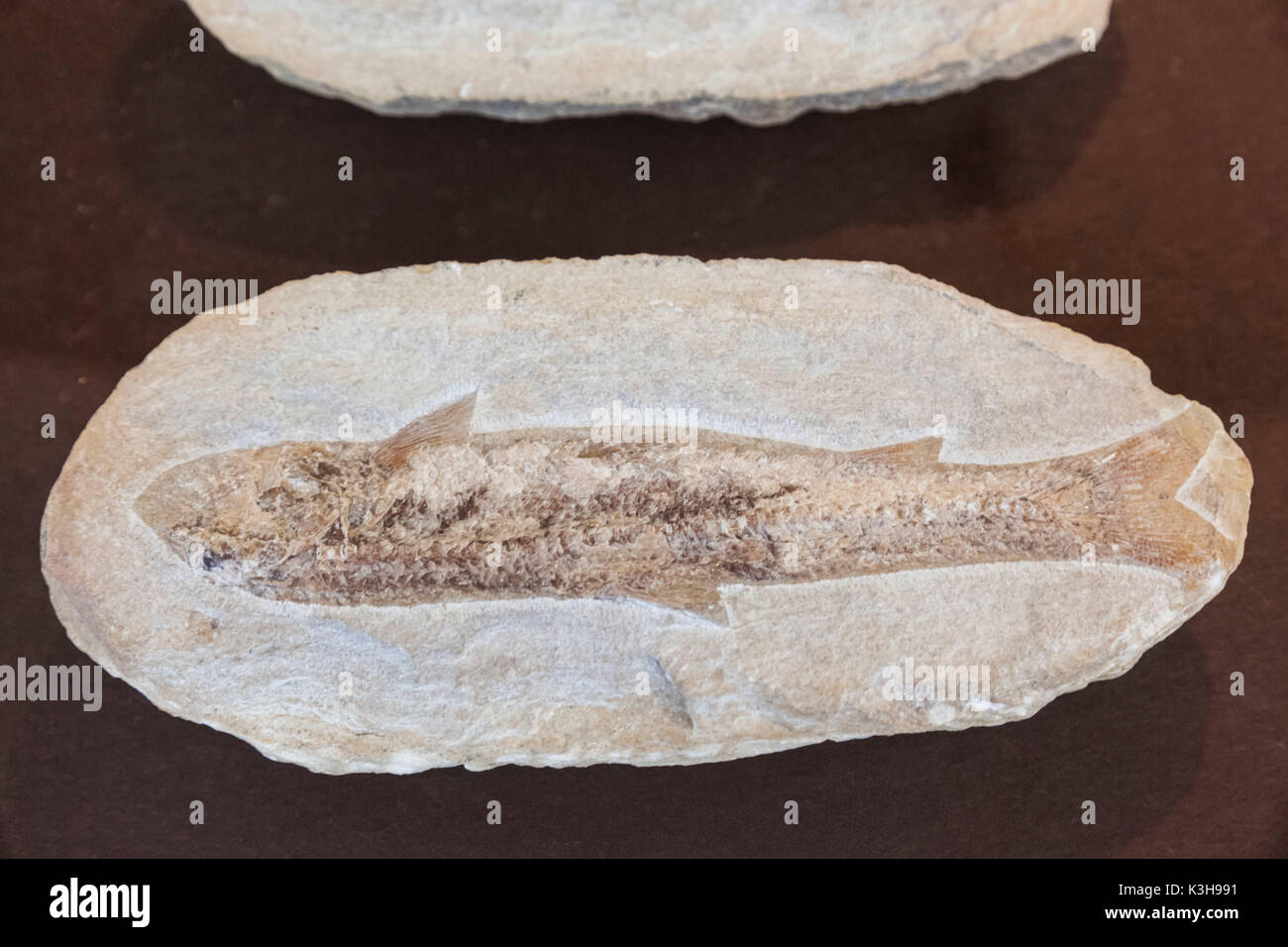 Germany, Bavaria, Munich, The German Hunting and Fishing Museum (Deutsches Jagd-Und Fischereimuseum), Exhibit of Fish Fossil - Stock Image