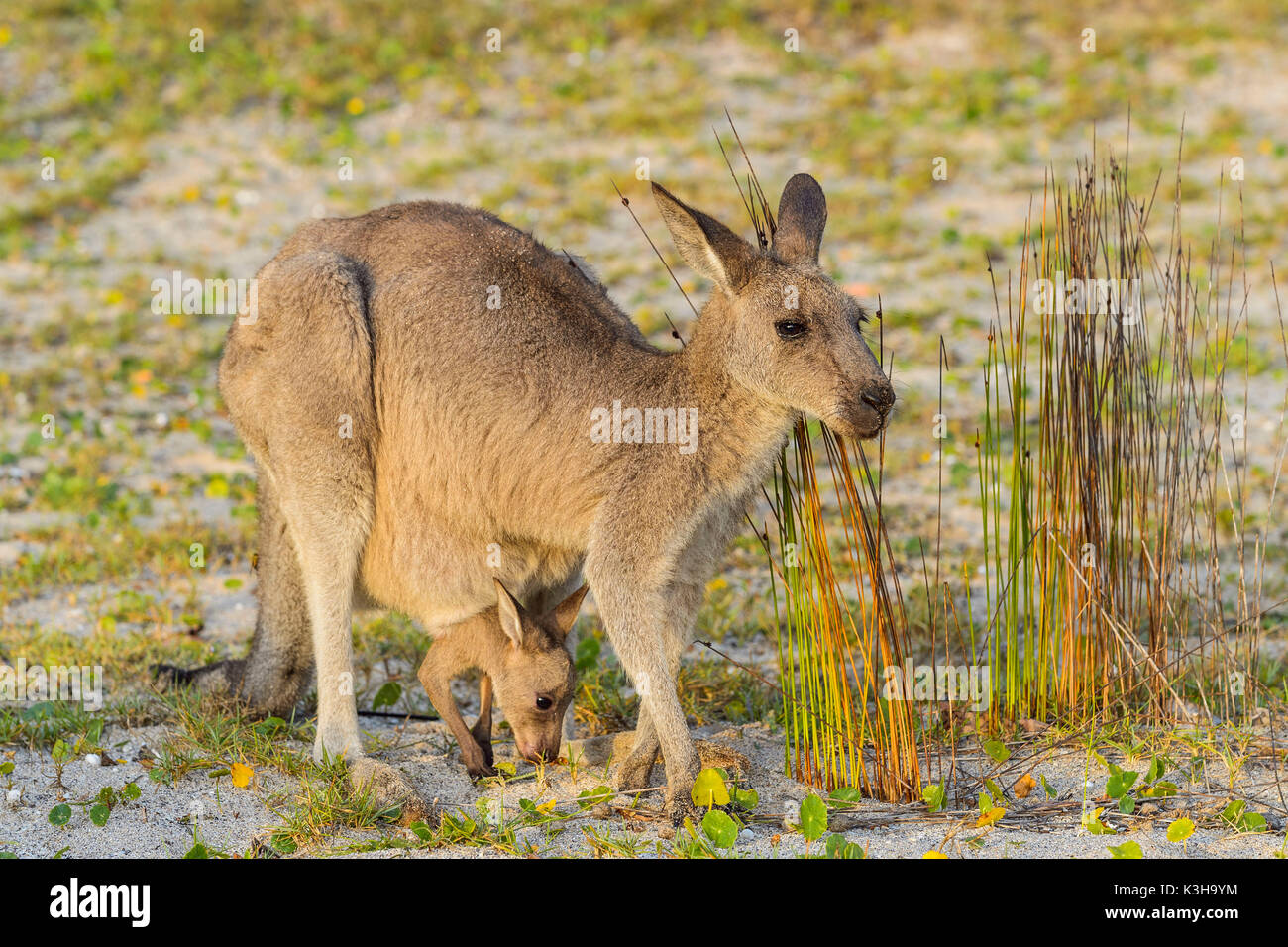 Grey Kangaroo, Macropus giganteus, Female with Joey in Pouch, Murramarang National Park, New South Wales, Australia - Stock Image