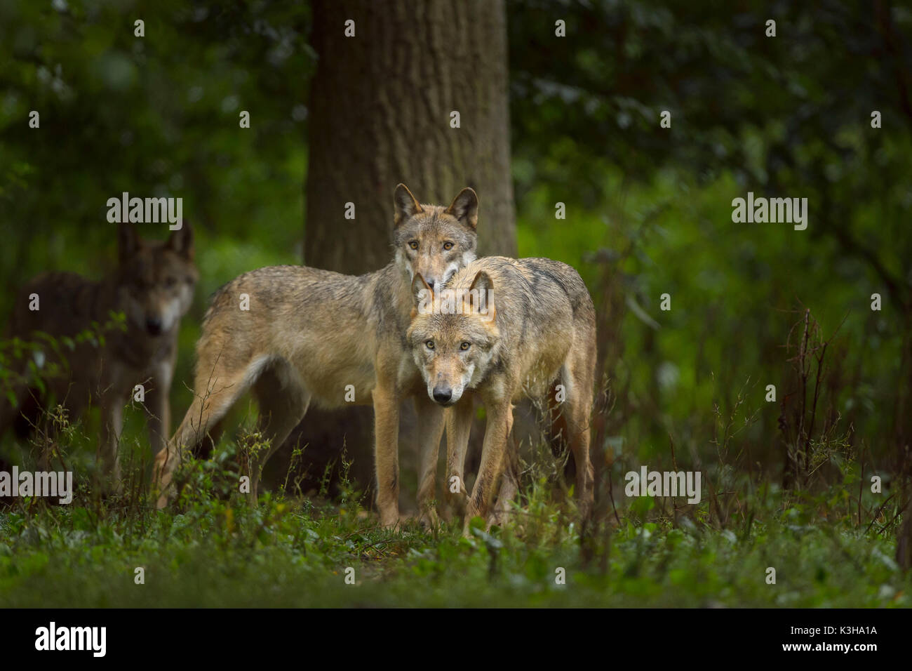 European Gray Wolf, Canis lupus lupus, Germany - Stock Image