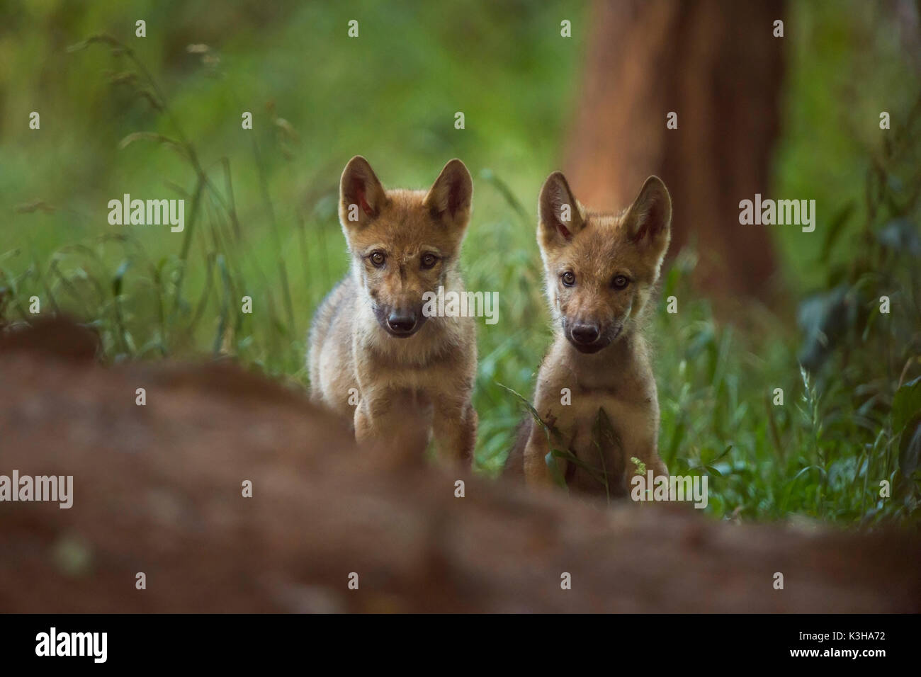 European Gray Wolf, Canis lupus lupus, two Pups, Germany - Stock Image