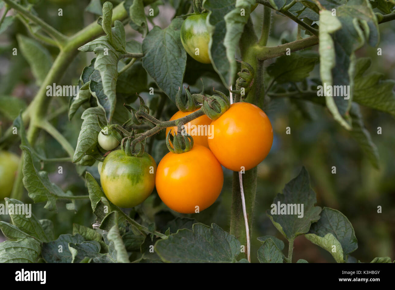 Ornage tomatoes plant close-up on green background - Stock Image