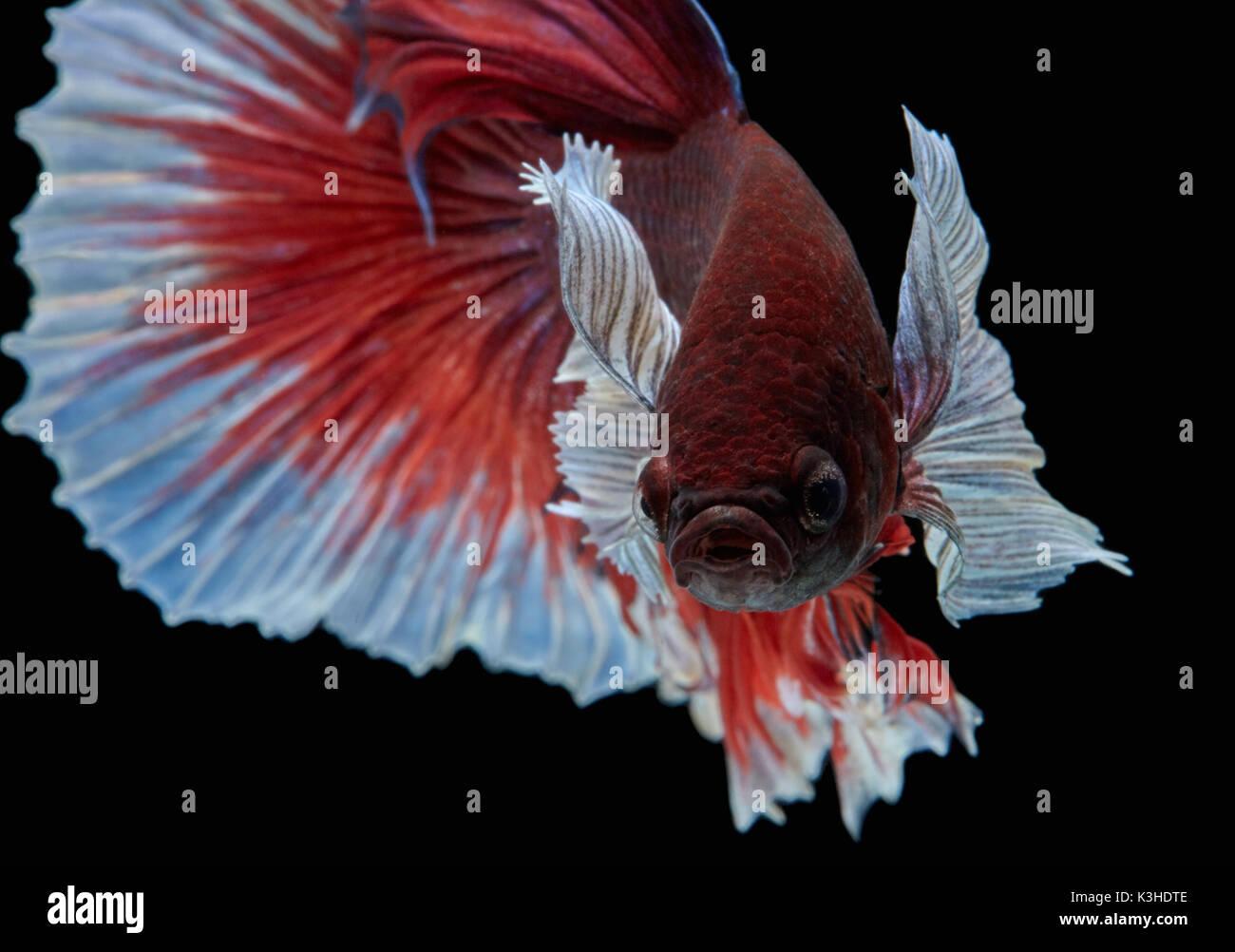 Betta fish, siamese fighting fish \