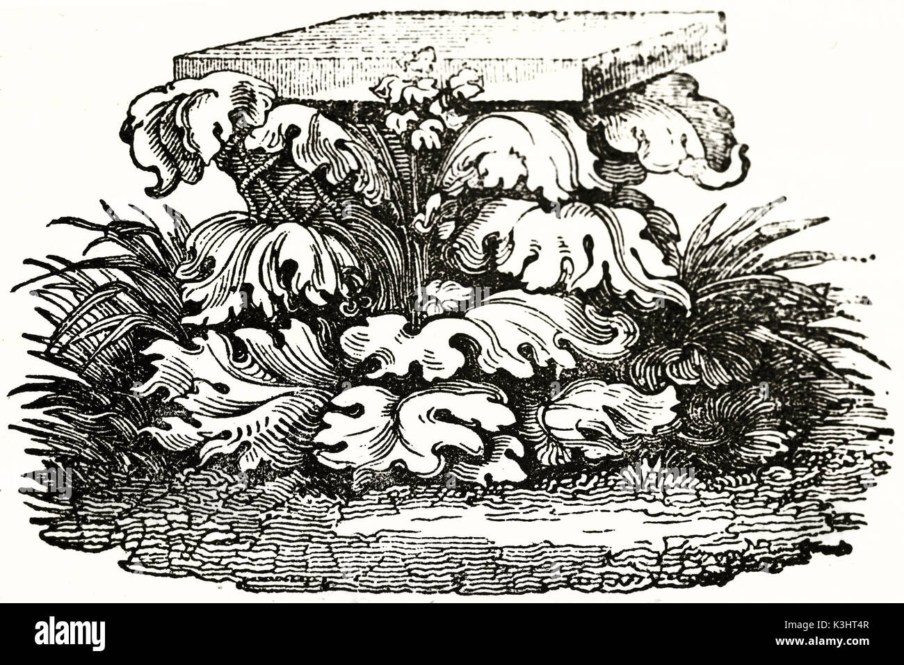 Old illustration of a acanthus leaves growing around a covered basket, so creating the idea of Corinthian capital. - Stock Image