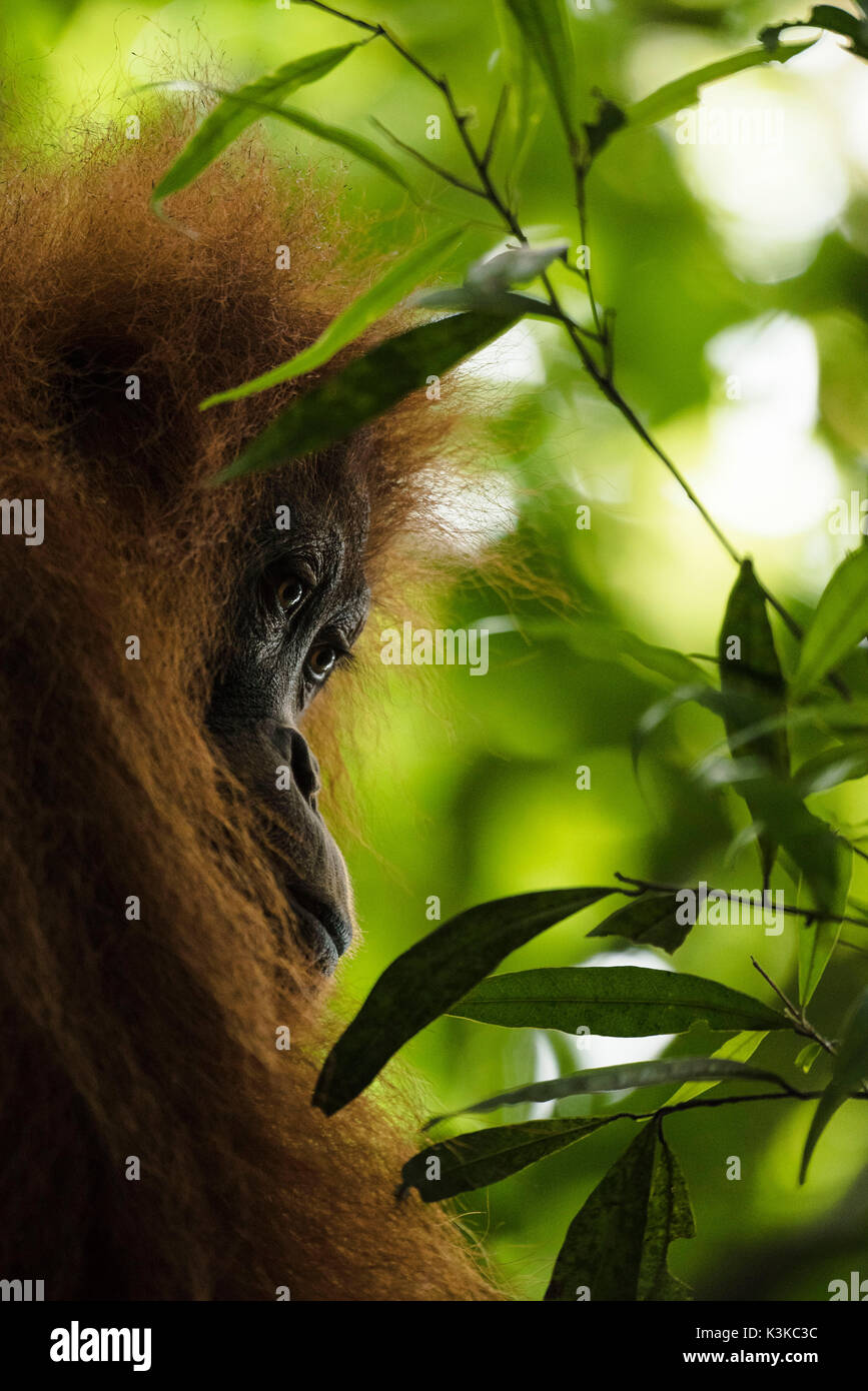 An Orang Utan female looks dreamily between leaves in the thick jungle of Sumatra. - Stock Image