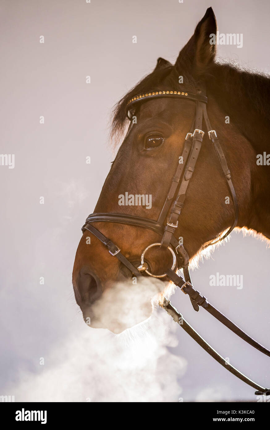 Dragon's horse. A horse in the halter blows out his foggy respiration. - Stock Image