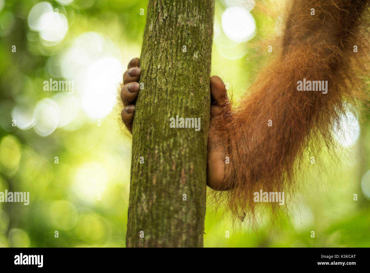 Foot of a forest person, Orang Utan in the Gunung Leuser national park on Sumatra, Indonesia. Stock Photo