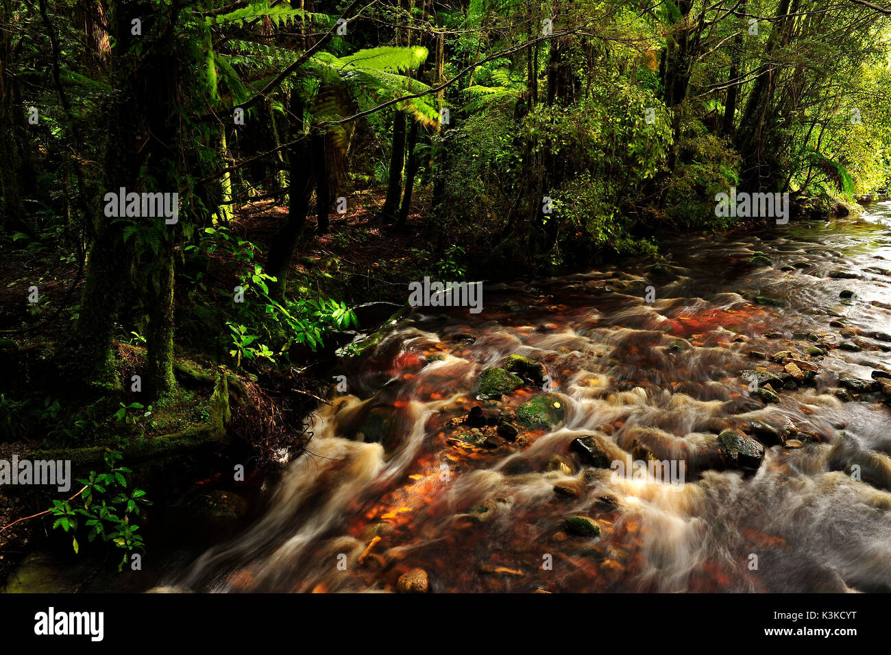 Savage small stream course with brown peat-containing water in the thick jungle of New Zealand. Stock Photo