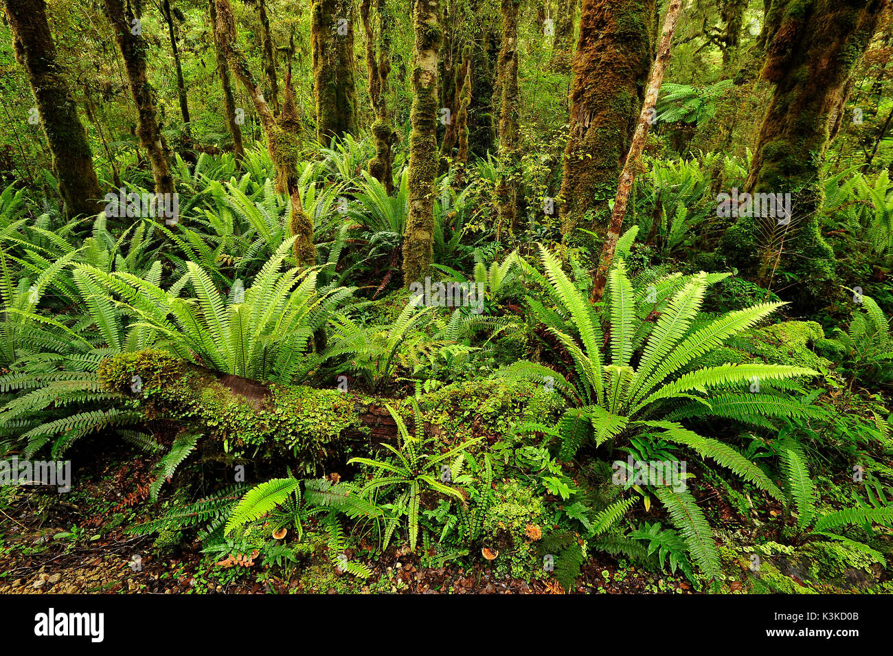 Closer mossy wood with fern in the New Zealand jungle. - Stock Image