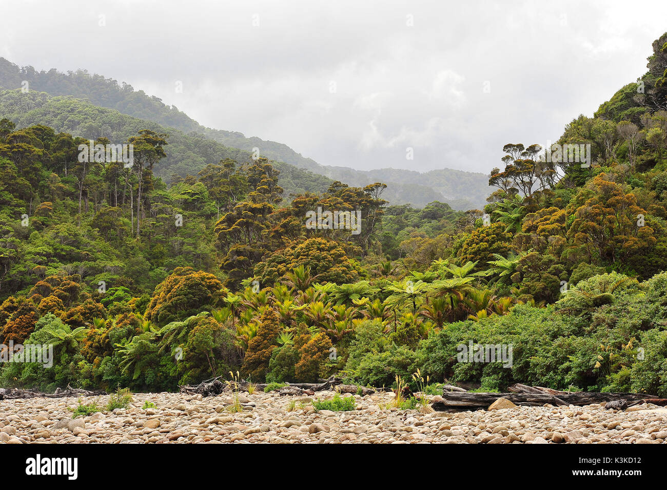 Jungle of New Zealand with stony brook bed in the foreground and many palms, ferns etc. overcast cloudy / tropical sky. - Stock Image