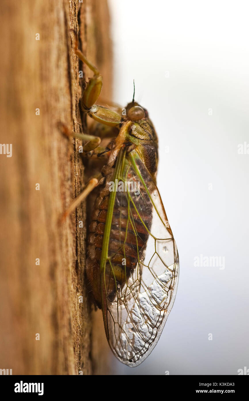 Cicada with stuck together wings on bark in New Zealand Stock Photo