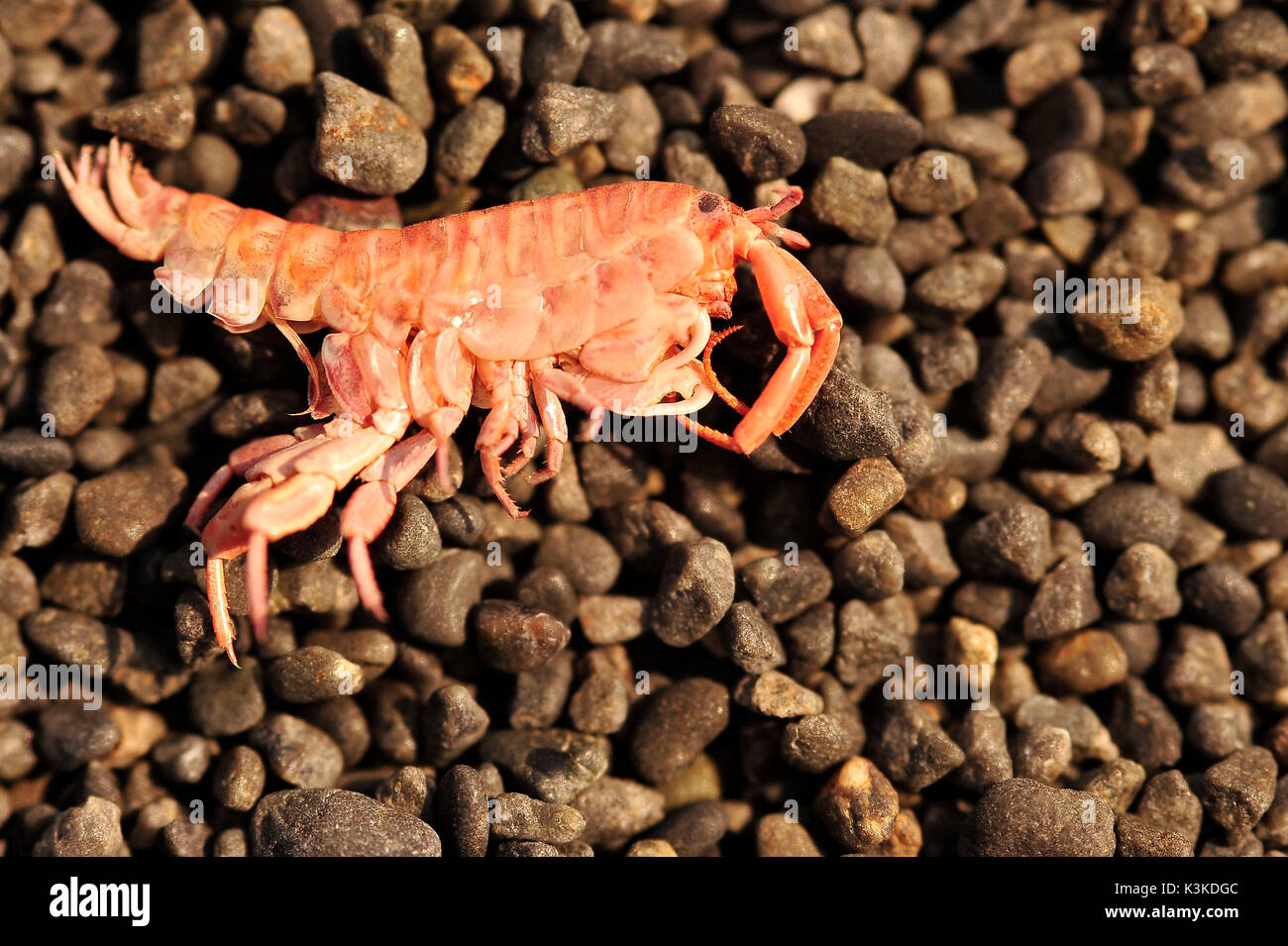 A circa 1 cm Krab on the beach of the Pacific. - Stock Image