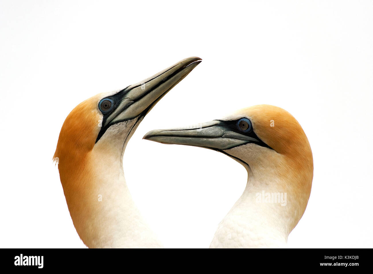 Two gannets at common plumage care - Stock Image