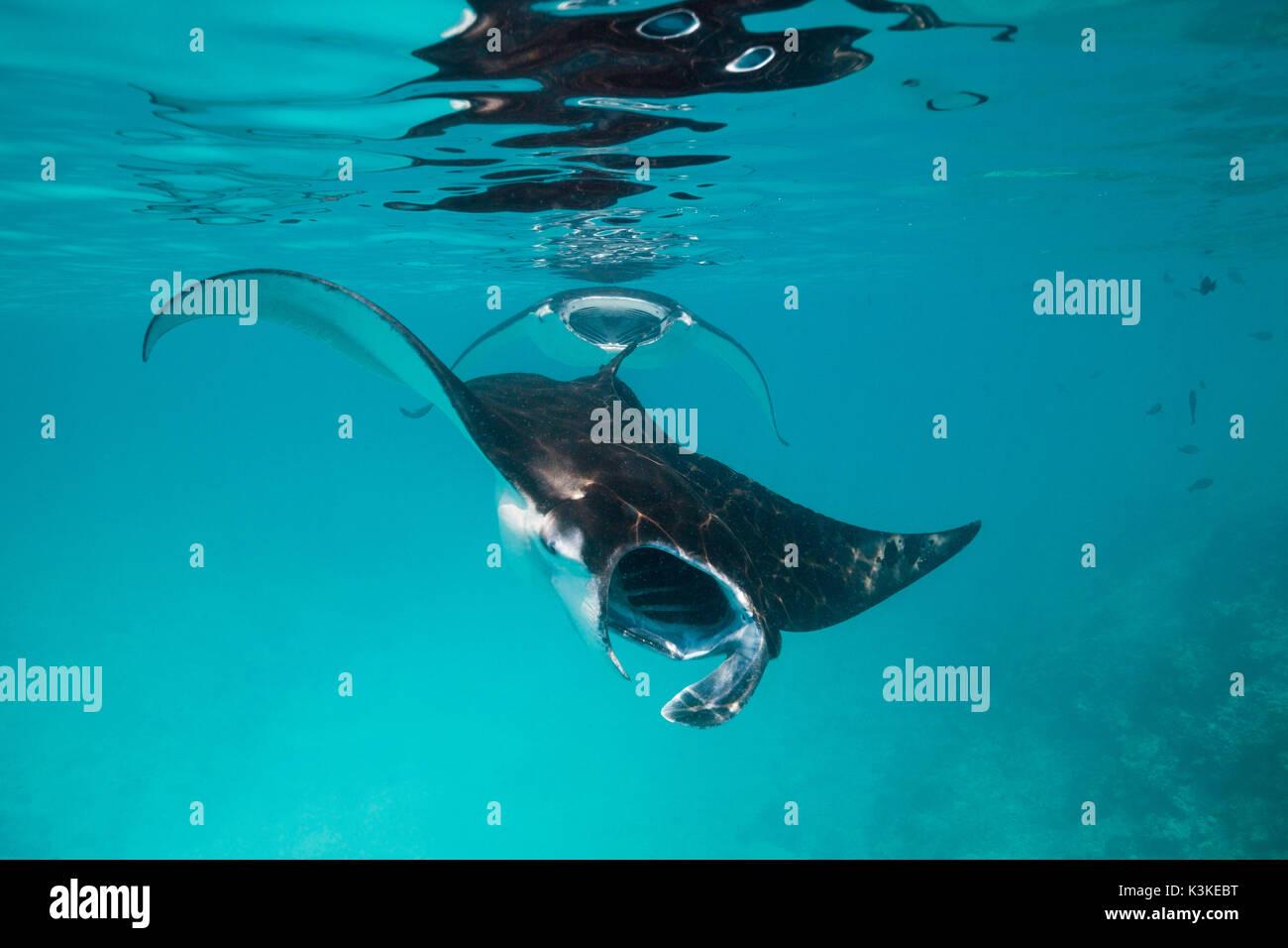 Reef Manta, Manta alfredi, Felidhu Atoll, Maldives Stock Photo