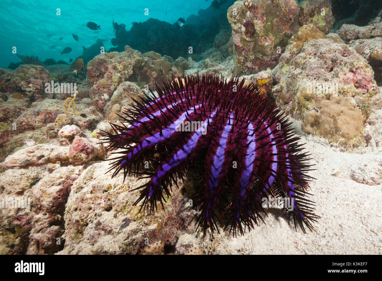 Crown-of-Thorns Starfish, Acanthaster planci, North Male Atoll, Maldives - Stock Image