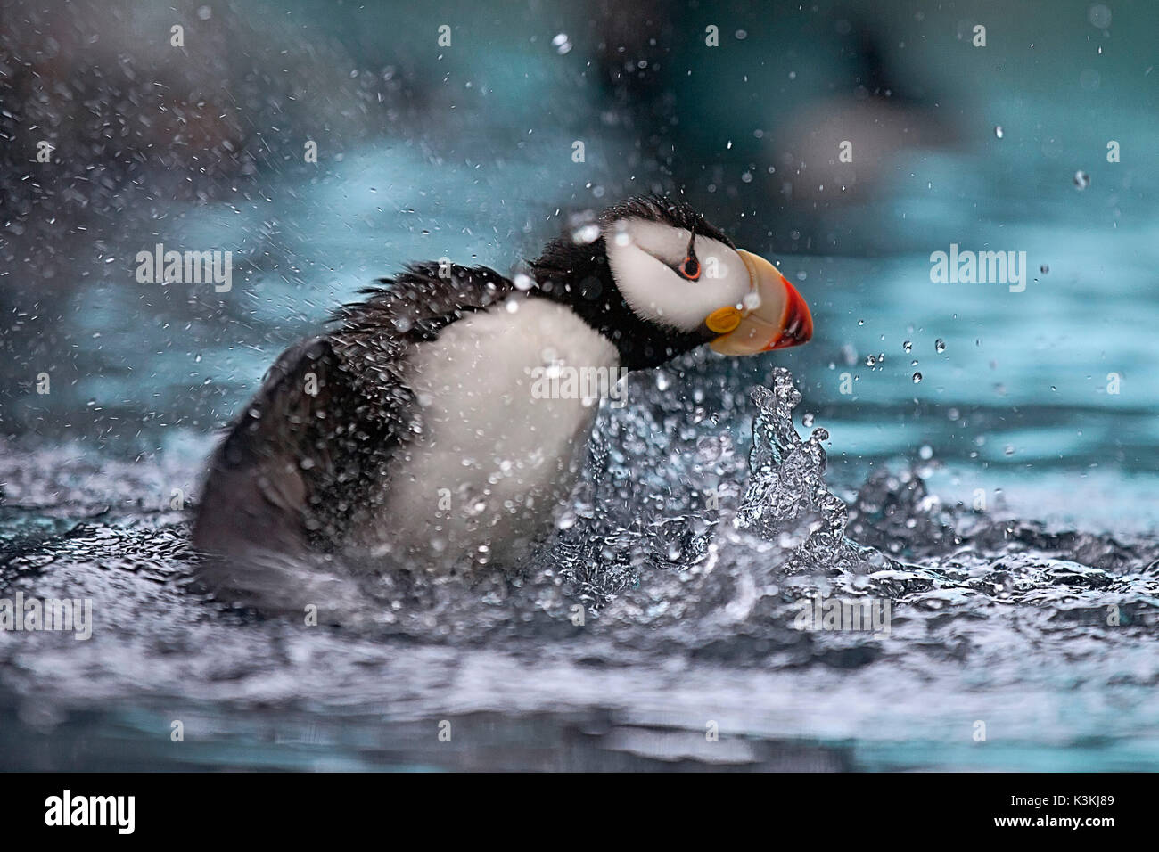 A puffin splashes into the water in the Kenai Fjords National park, Seward. - Stock Image