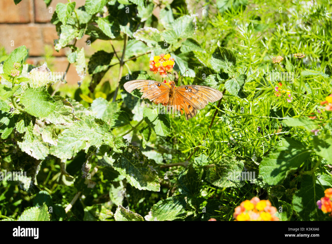 A hurt queen butterfly landed on a multi-colored lantana. - Stock Image