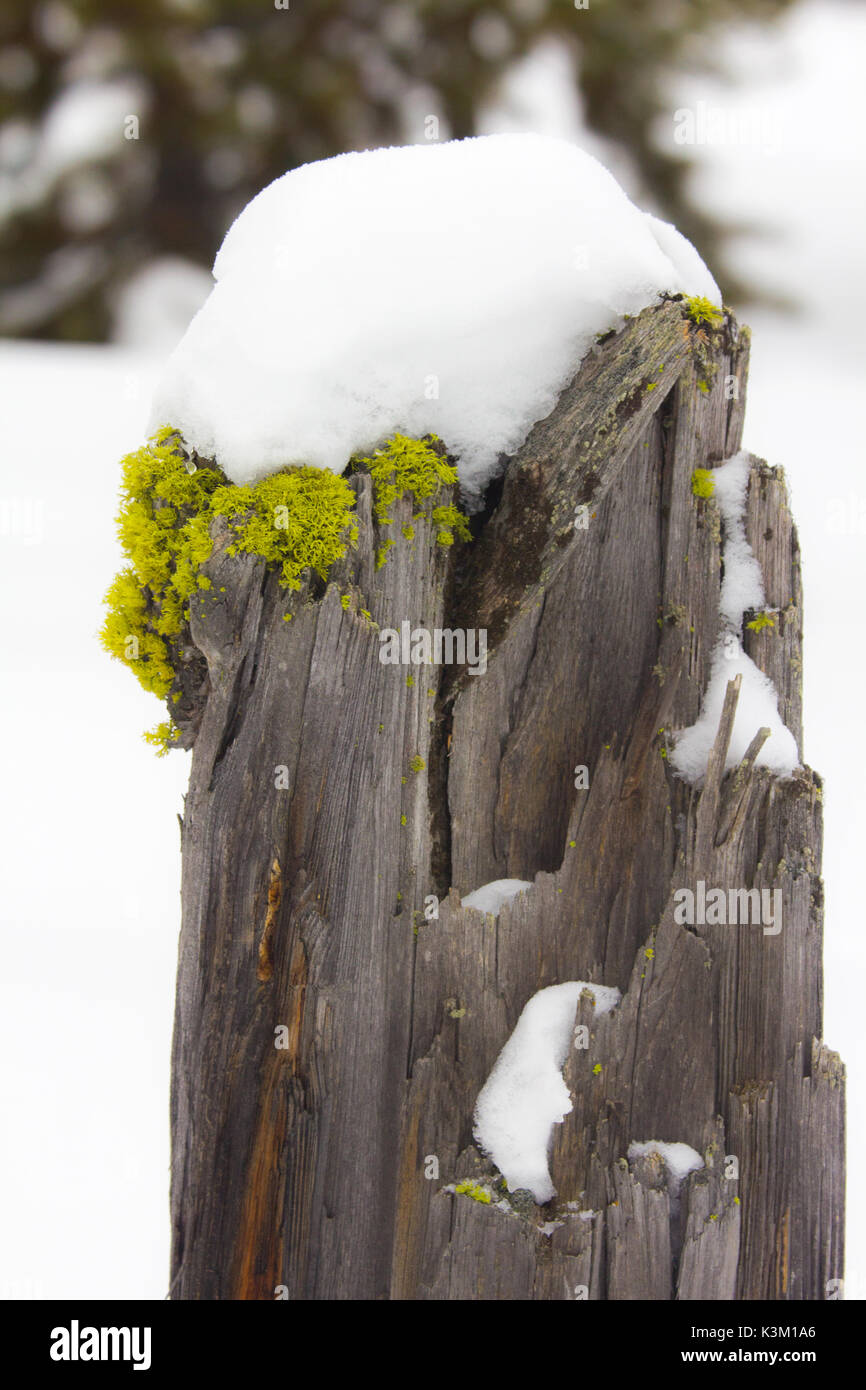 Lichen and snow covered fencepost taken in Harriman State Park, Island Park, Idaho - Stock Image