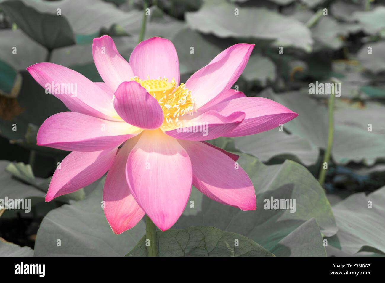 Flower Sacred Lotus Effect Stock Photos Flower Sacred Lotus Effect