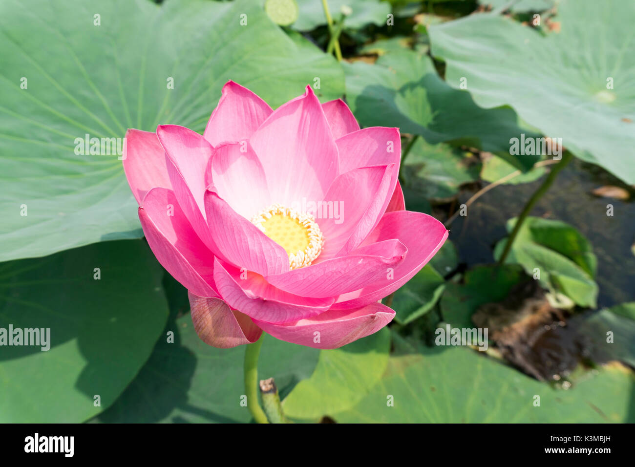 The Beautiful Lotus Flower In Full Bloom In The Summer Of The Pond