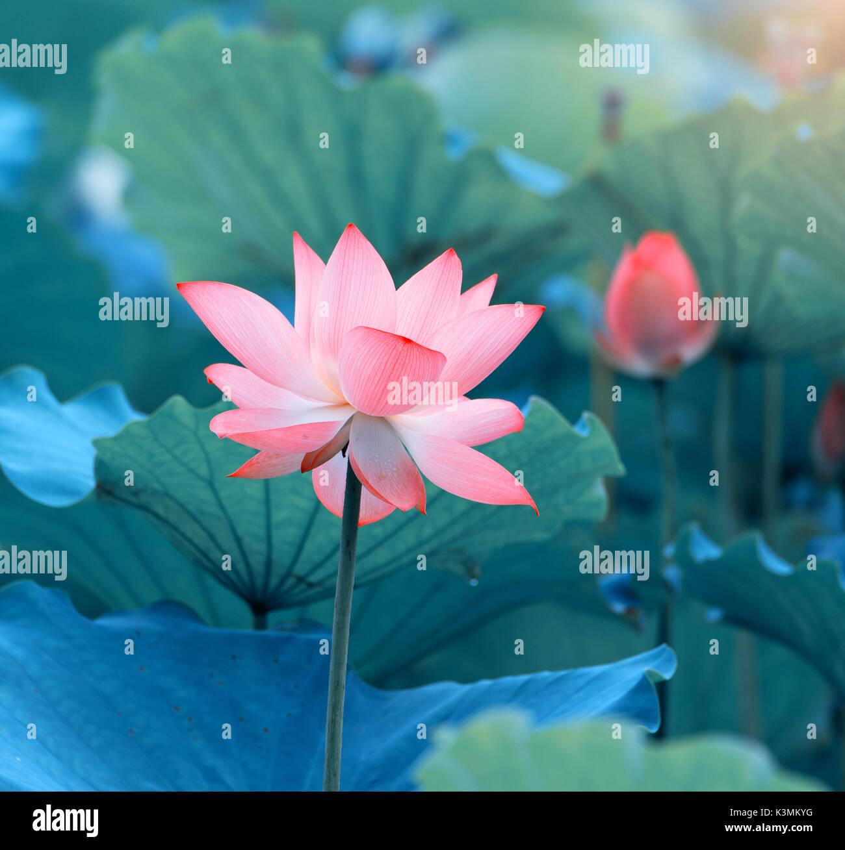 Blooming lotus flower stock photo 157191988 alamy blooming lotus flower izmirmasajfo