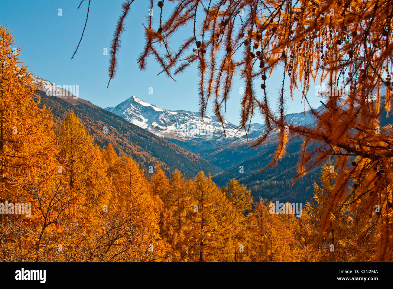 Tresero peak between Ables larch's branches in autumn, Valtellina, Lombardy - Stock Image