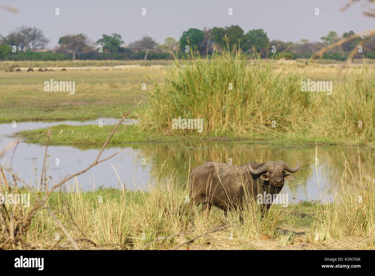 African buffalo on the shore of Okavango River.  Mahango Game Reserve, Kavango, Namibia. - Stock Image