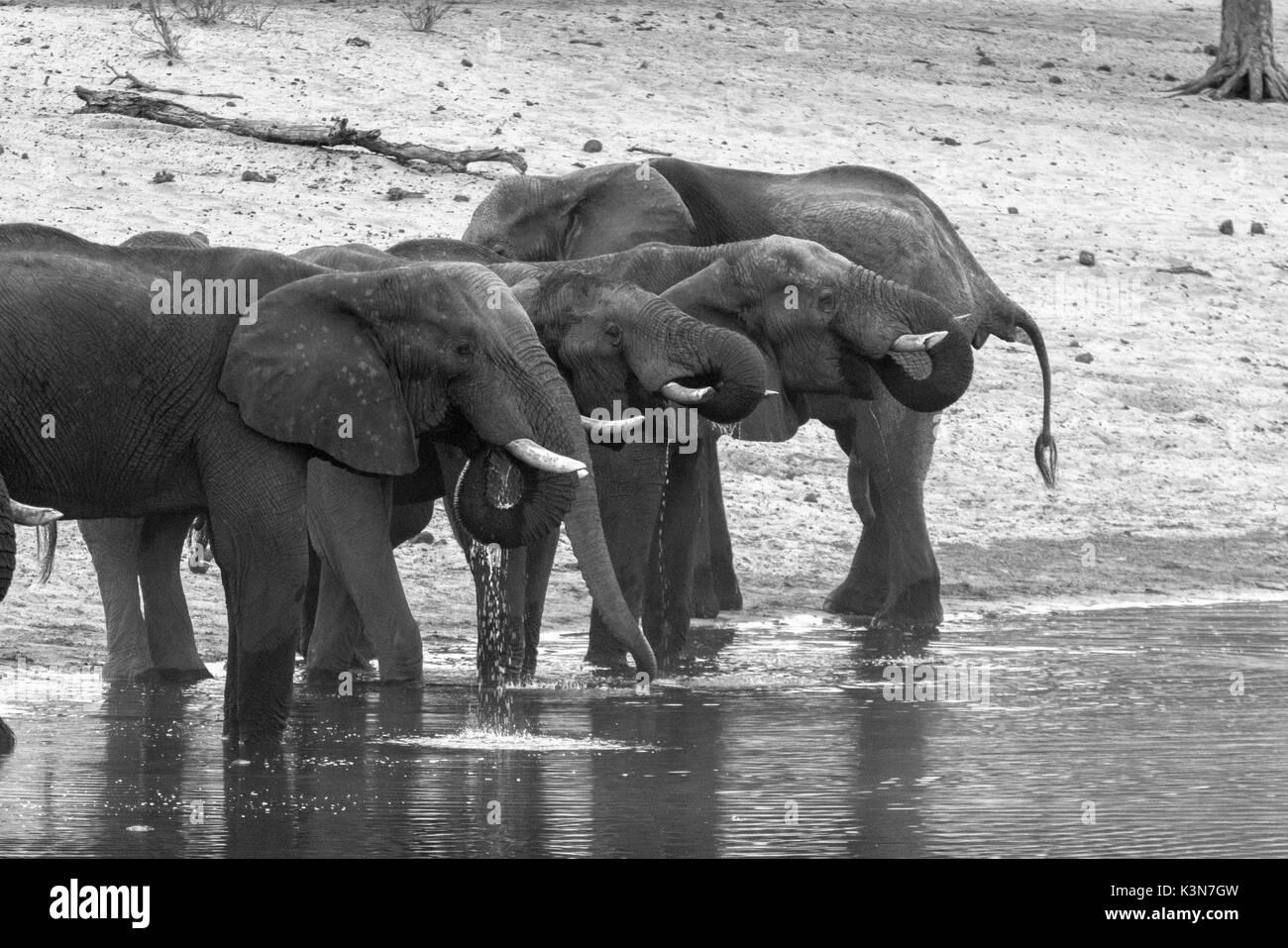 Elephants drinking from Kwando River. Kwando Core Area, Bwabwata National Park, Namibia, Africa. - Stock Image