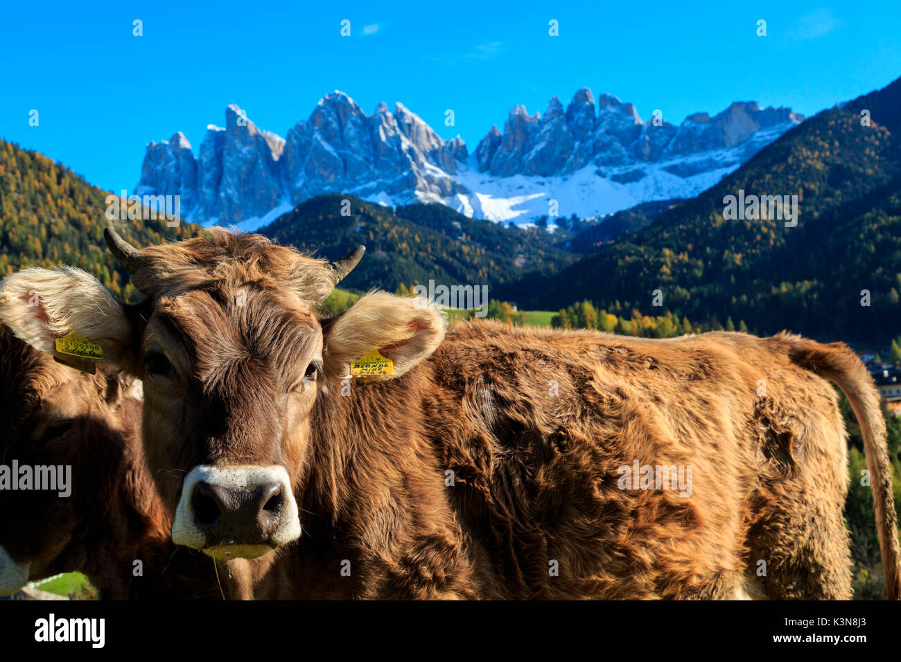 Odle in autumn, Dolomiti, alto adige, italy, europe - Stock Image